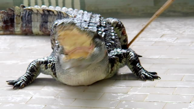 Man Teasing Big Crocodile video