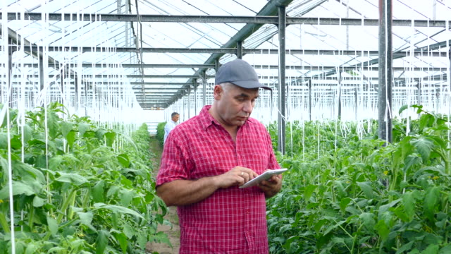 4K Man using digital tablet in greenhouse video