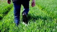 Man Walking through a Green Wheat Field video