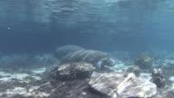 Manatee Swimming video
