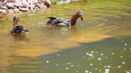 mandarin duck video