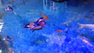 Mandarin Ducks Couple (Aix galericulata) video