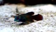 Mandarin fish in Aquarium video
