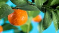 Mandarin on a branch video