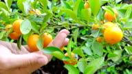 mandarins video