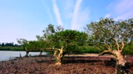 mangrove fores video