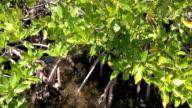 Mangrove flora video