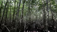Mangrove Forest in Thailand video