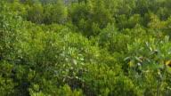 Mangrove forest, panning shot video
