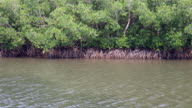 Mangrove forest, swaying in wind video