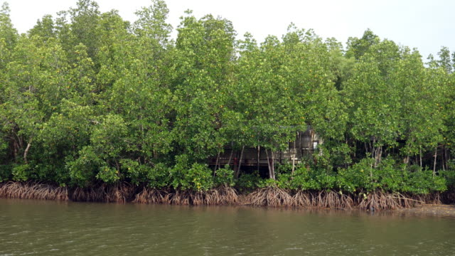 Mangrove forest video