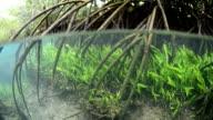 Mangrove root in Tha Pom, Krabi, unseen Thailand video