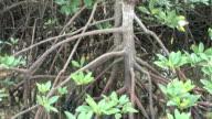 mangrove roots (HD 1080) video