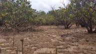 Mangrove Swamp Forest - Marine Estuaries Mud Flats video