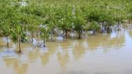 Mangrove tree video