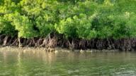 Mangrove Trees video