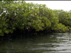 Mangroves, tracking shot from boat video