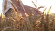 HD SUPER SLOW MO: Man's Hand Caressing The Wheat video