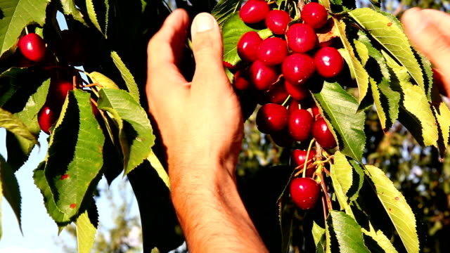 Man's hand picking bright red cherries video