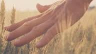 SLO MO Man's hand touching wheat ears video