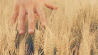 SLO MO Man's hand touching wheat in the field video