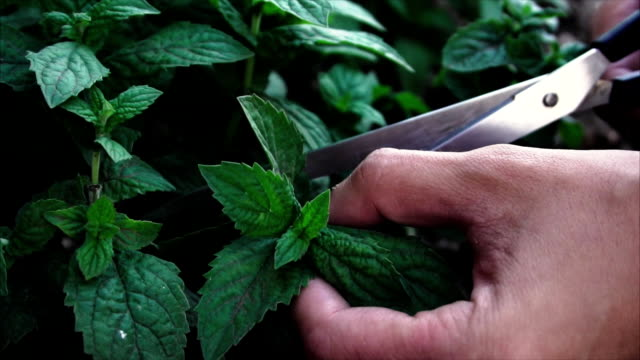 man's hands cut mint leaves with scissors video
