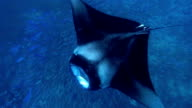 Manta Ray swimming over School of Fusilier Fish video