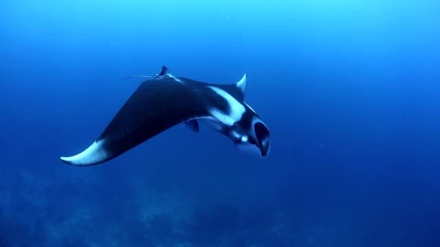 Manta Ray swimming video