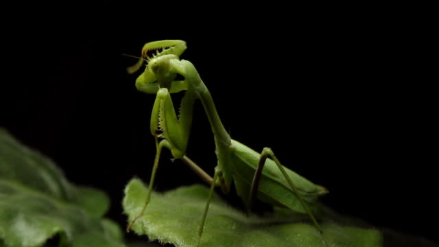 Mantis Cleaning Head (HD) video