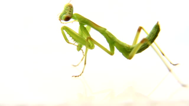 Mantis cleaning itself video