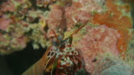 Mantis Shrimp, moving on seabed, Western Pacific Ocean (4K) video