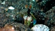 Mantis shrimp washes face video