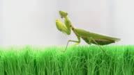 Mantis video