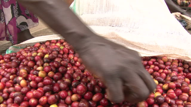 Manually sorting of harvested Fairtrade coffee beans video
