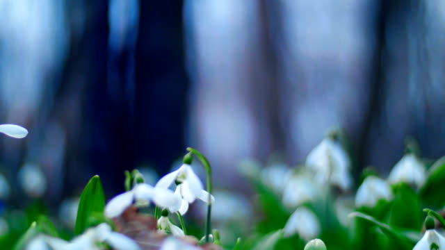 Many beautiful blossoming snowdrops in the spring forest video
