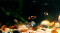 Many beautiful colourful fish with long voile tails and fine in home aquarium. video