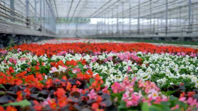Many beautiful flowers in a greenhouse. 4K. video
