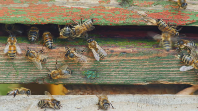 Many bees crawl at the entrance to the hive video