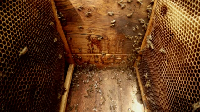 Many Bees Creep in Hive Camera Between Frames For Honeycombs Close up video