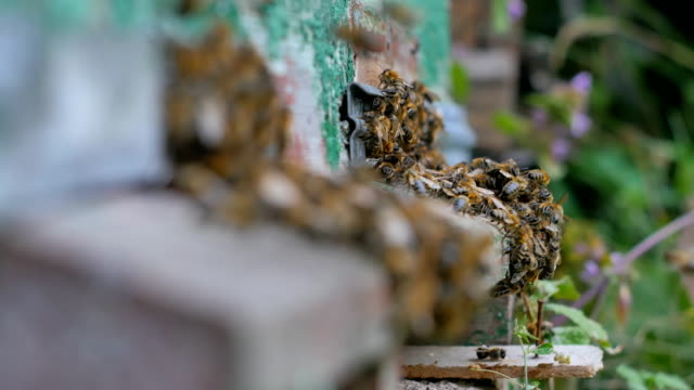 Many bees near an entrance to the hive 01 video
