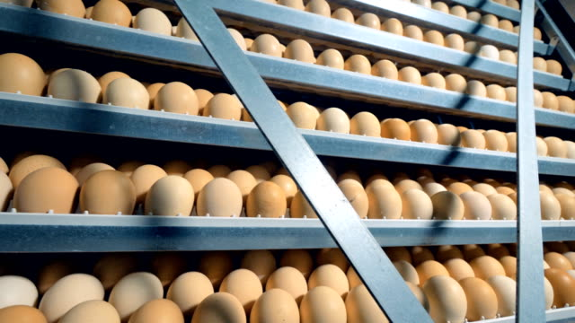 Many chicken eggs in incubator. Opened incubator with lots of eggs. video