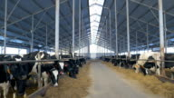 Many cows, flock in farm. Herd of cows looking in to camera, eating in cowshed video