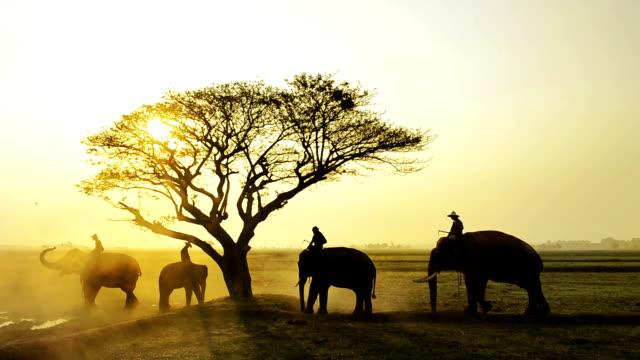 Many Elephant at Elephant village, surin  province Thailand video