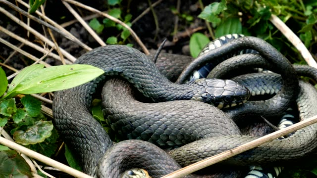Many Large Black Rat Snake in the Grass video