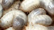Many larvae of the bark beetle video