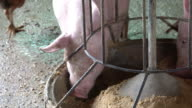 Many pig eating feed in farm video