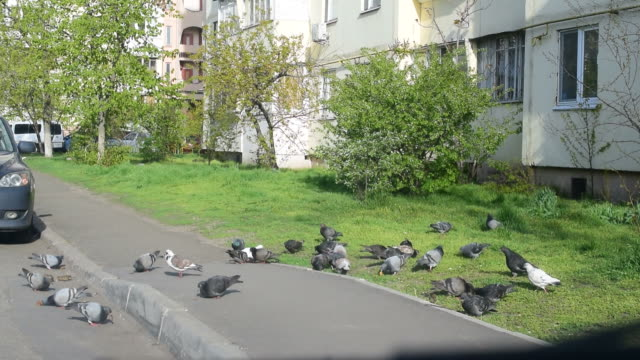 Many pigeons fed in a city video