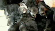 many puppies German shepherd dog whine video
