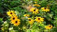 Many rudbeckia flowers in a garden video