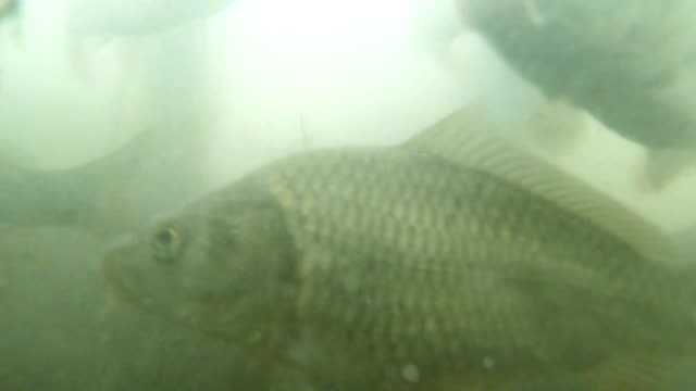 many small carp in muddy water mountain lake view from the bottom to feed video